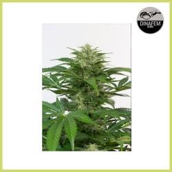 Haze Auto CBD (Dinafem Seeds)