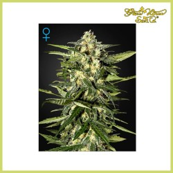 Jack Herer Auto (Green House Seeds)