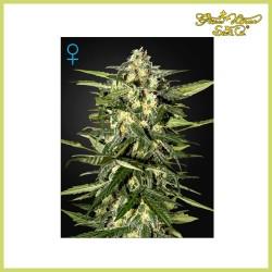 Jack Herer Auto (Green House Seeds)