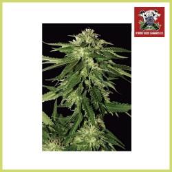 Xtreme Kush (Xtreme Seeds)