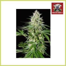 OG Kush (Xtreme Seeds)
