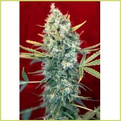 Señora Amparo (Reggae Seeds)