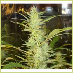 1024 (Medical Seeds)