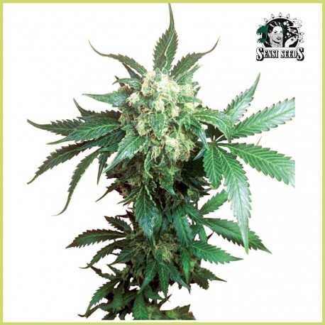 Black Domina (Sensi Seeds)