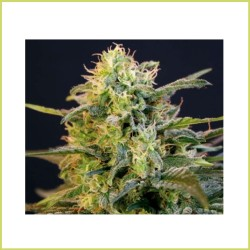 Critical x Skunk en vrac - THE GREEN WORLD GARDEN
