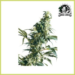 Mexican Sativa fem. (Sensi Seeds)