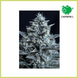 Blubonik (Genehtik Seeds)
