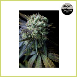 Dinamed CBD (Dinafem Seeds)