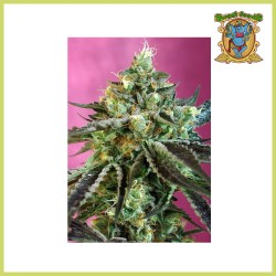 Sweet Nurse Auto CBD (Sweet Seeds)